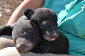 Louisiana Black Bear Cubs