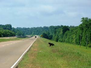 A black bear attempts to cross Highway 61 on the Big Black River near the Claiborne county line (Photo: John Fox).