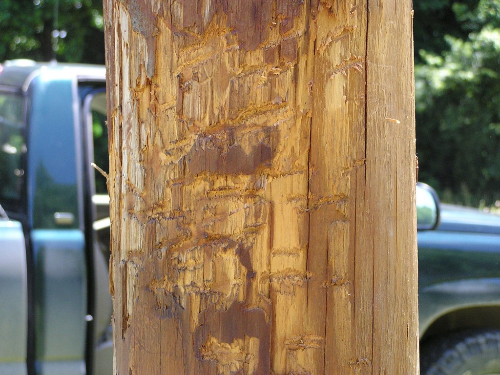 Scratches on a pole made by a black bear
