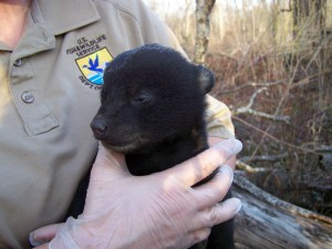 Bear cub. Photo by USFWS