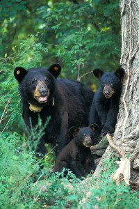 Black bears (photo by B. Young)